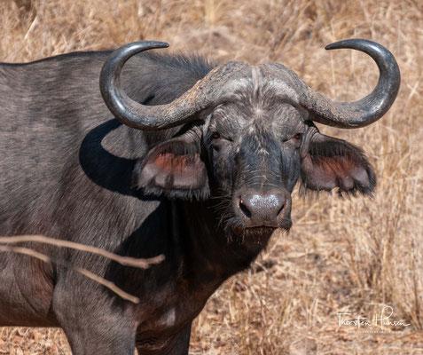 Büffel im Südluangwa NP