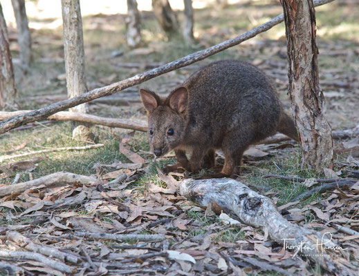 Wallaby im Moonlit Sanctuary Wildlife Conservation Park