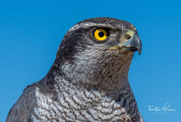 Die Jagd mit dem Greifvogel – die Beizjagd – entstand bereits vor etwa 3.500 Jahren.
