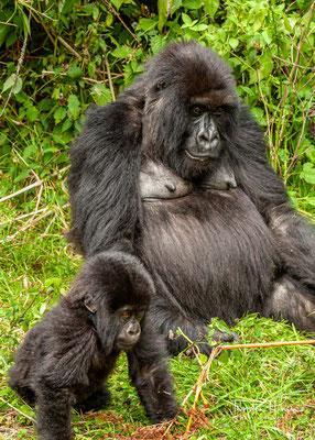 Die kleinen Affen werden bis zu vier Jahre lang gesäugt und verlassen ihre Geburtsgruppe erst, wenn sie erwachsen sind.