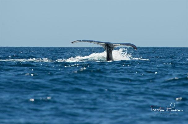 Der Körper ist dabei im Vergleich zu allen anderen Furchenwalen sehr kräftig ausgebildet.
