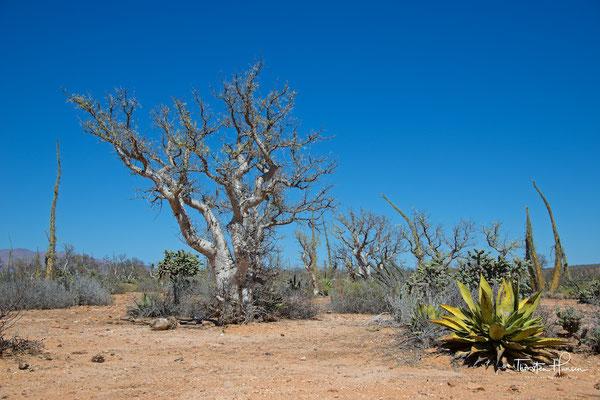 Kakteenlandschaft in der Cataviña-Wüste