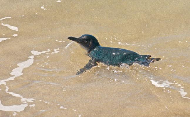 Es finden sich zahlreiche Kolonien rund um Neuseelands Nord- und Südinsel, auf Stewart Island sowie den Chatham-Inseln.