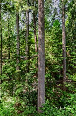 Inmitten der mächtigen Douglas Fichten geht es über Brücken und kleine Treppen, auf den Spuren der Natur und aus der Perspektive von Vogel und Eichhörnchen.