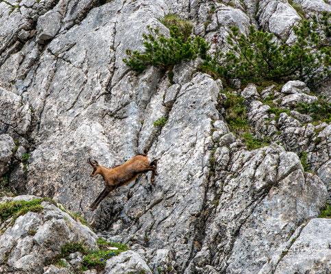 In diesem Bereich der Alpen trifft man häufiger auf Gämse