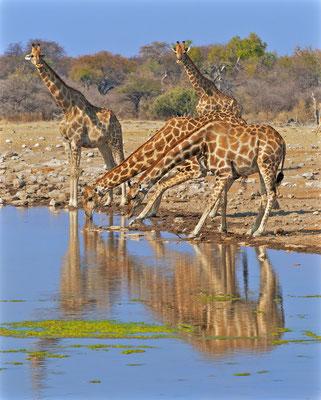 Trinkende Giraffen im Etoscha NP