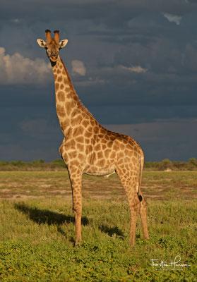 Giraffe im Etosha NP
