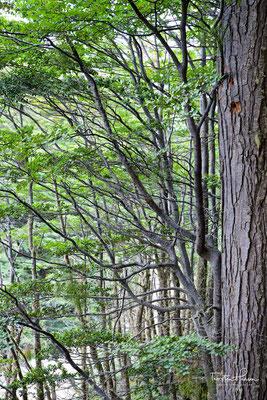 Wanderung durch einen Wald mit Lenga-Südbuchen