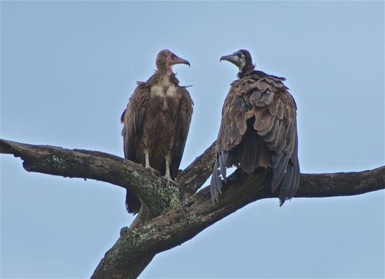 Weissrückengeier im Serengeti NP