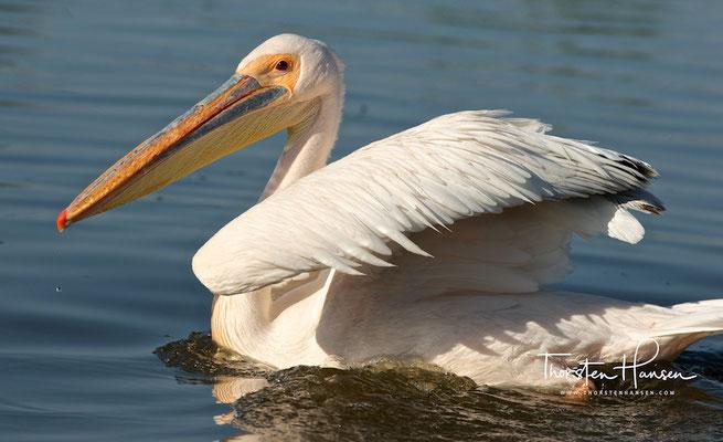 Pelikane in Awassa
