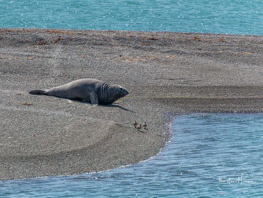 Südamerikanische Seeelefanten