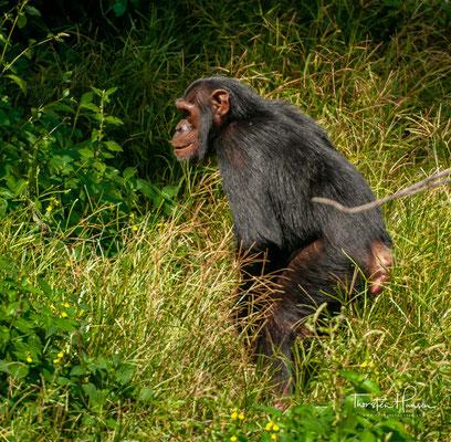 """Das Ngamba Island-Refugium wurde 1998 gegründet, als das Jane Goodall Institut Uganda zusammen mit anderen NGOs den """"Chimpanzee Sanctuary and Wildlife Conservation Trust"""" (CSWCT) bildeten."""