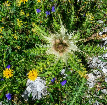 Dolomiten-Glockenblume und Distel