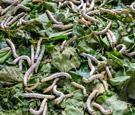 21 Tage alte Seidenspinnerraupen auf Maulbeerblättern