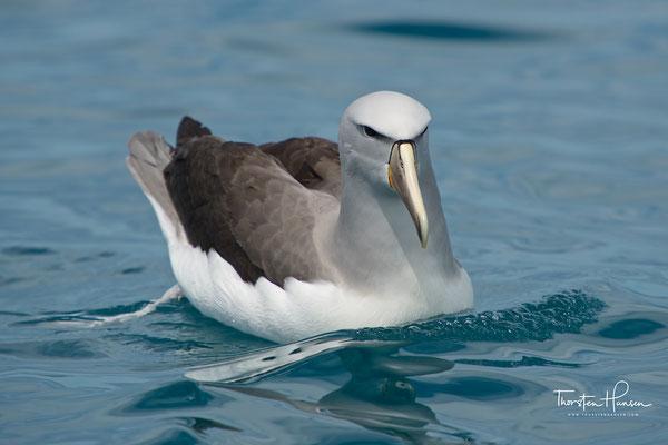 Die Art ist nach dem neuseeländischen Ornithologen Walter Lawry Buller (1838–1906) benannt.  Die IUCN stuft den Buller-Albatros im Hinblick auf die Gefährdung der Art auf der Vorwarnliste