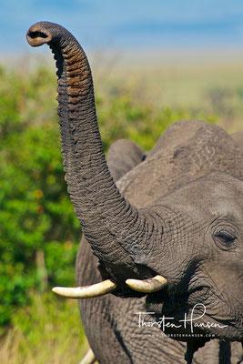 Elefanten in der Massai Mara