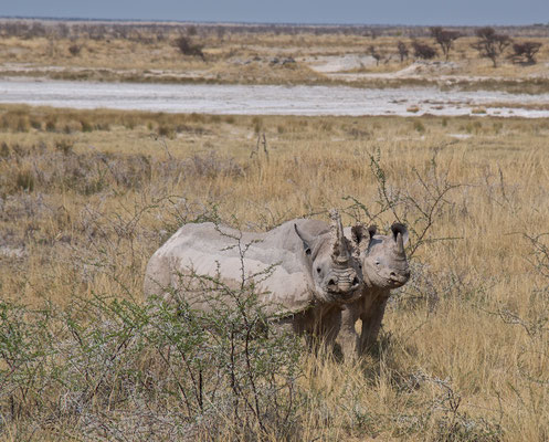 Nashörner im Etoscha NP