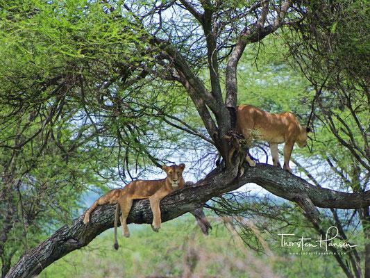 Löwen im Tarangire-Nationalpark