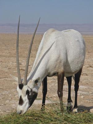 Oryx Antilopen im Al-Talila Reserve