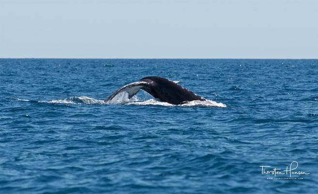 Der Buckelwal (Megaptera novaeangliae) ist ein oft in Küstennähe vorkommender Vertreter der Furchenwale