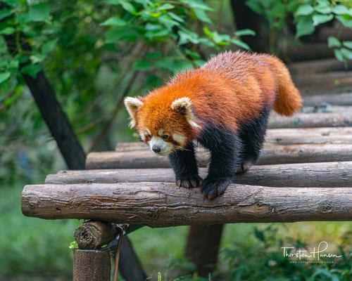....das im östlichen Himalaya und im Südwesten Chinas beheimatet ist und sich vorwiegend von Bambus ernährt.