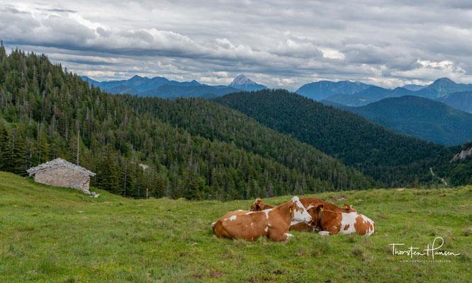 ... an vielen friedlichen Kühen vorbei...
