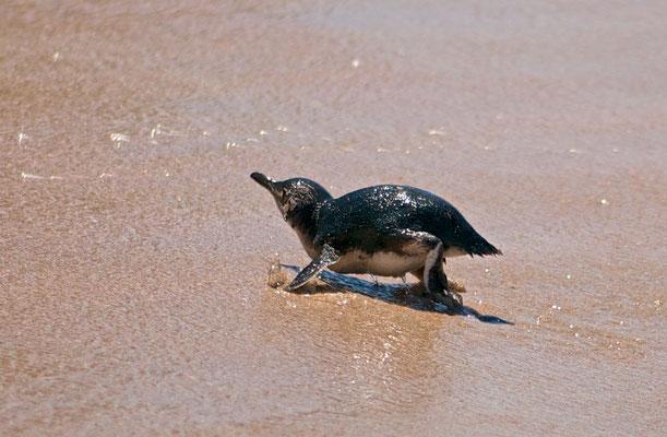 Die Vögel werden gewöhnlich 35 bis 40 Zentimeter groß und wiegen etwa ein Kilogramm.