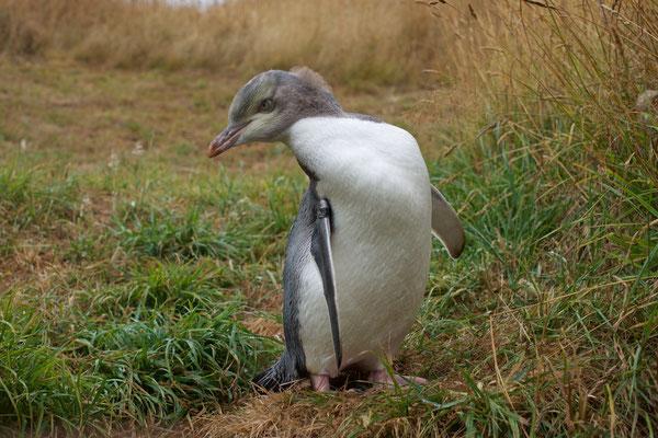 Der Gelbaugenpinguin erreicht eine Körpergröße von 58 bis 76 Zentimeter. Wie bei vielen anderen Pinguinarten variiert das Gewicht während des Jahres sehr stark.