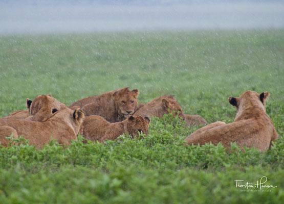 Löwen im Regen im Ngorongoro-Krater