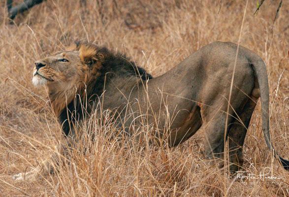 Während der Kopulation beißt der Kater der Löwin in den Nacken. Dadurch hält diese instinktiv still. Lässt eine Löwin die Kopulation zu, so paaren sie sich alle 15 Minuten zirka 40 Mal am Tag, wobei ein Kopulationsakt etwa 30 Sekunden dauert,