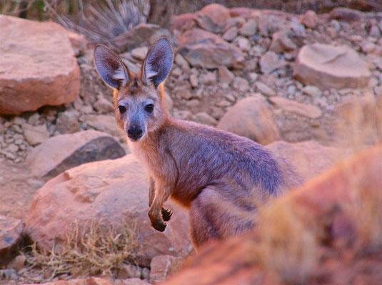 Rock Wallaby in den Olgas