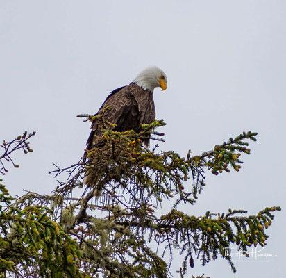 Weißkopfseeadler - Die fliegenden Giganten
