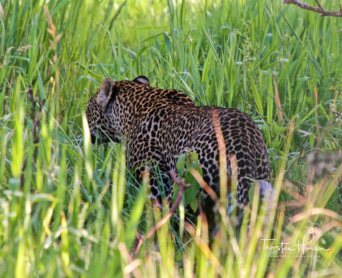 Leopard im Ngorongoro-Krater