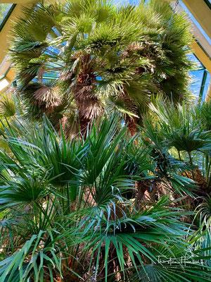 """Die """"Goethe Palme"""" im botanischen Garten von Padua"""