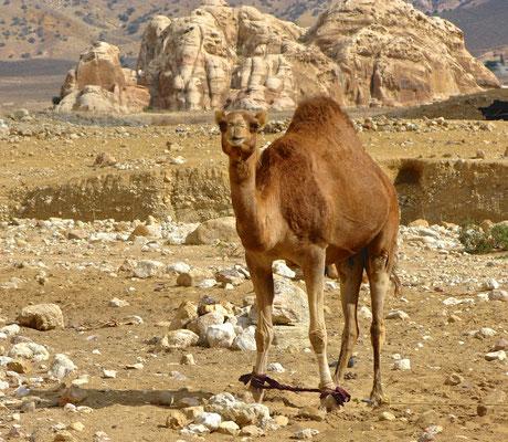 Kamel in Little Petra