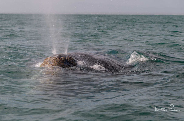 Kopf voran tauchen die Wale sofort wieder unter, schwenken vielleicht noch die Schwanzflosse wie zum Abschiedsgruss.