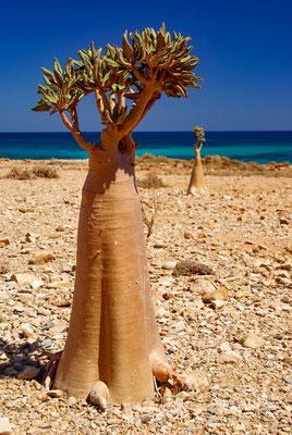 Dendrosicyos socotranus kommt nur auf der Insel Sokotra, einer Insel vor dem Horn von Afrika vor. Sie wächst hier im Buschwald.