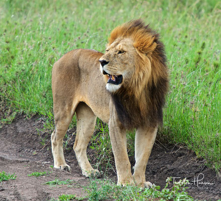 Löwe im Serengeti National Park