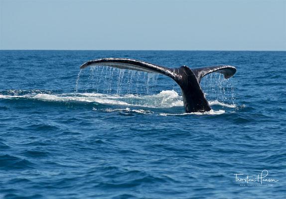Ihre Nahrung finden die Wale in Wassertiefen bis 50 Meter