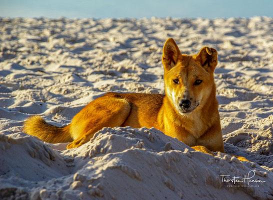 Der Dingo hat sich in vielen Gebieten Australiens stark mit anderen Hunderassen vermischt und gilt meist nicht mehr als reinrassig.