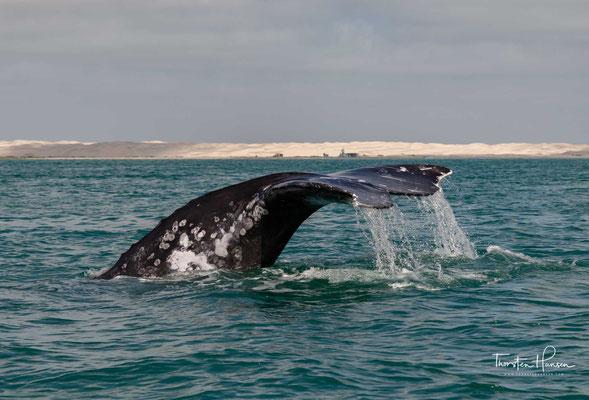 Ein Walbaby kann schon 500 kg schwer sein, ein ausgewachsener Grauwal wiegt unglaubliche 30 Tonnen und kann bis zu 15 m lang werden.