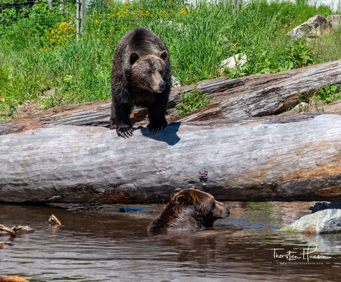 Grizzley´s auf den Grouse Mountains