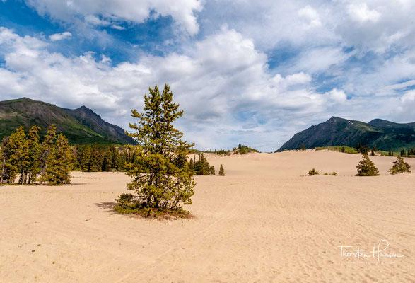 """Nördlich des Ortes befindet sich die """"kleinste Wüste der Welt"""": Carcross Desert. Sanddünen, entstanden aus den sandigen Sedimenten eines Eiszeitsees, bedecken auf nur wenigen Quadratkilometern den Boden."""