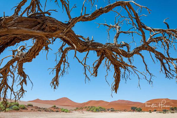 Der Kameldorn wächst als Baum und kann normalerweise Wuchshöhen von 6 bis 7 Metern, aber auch von bis zu 22 Metern erreichen.