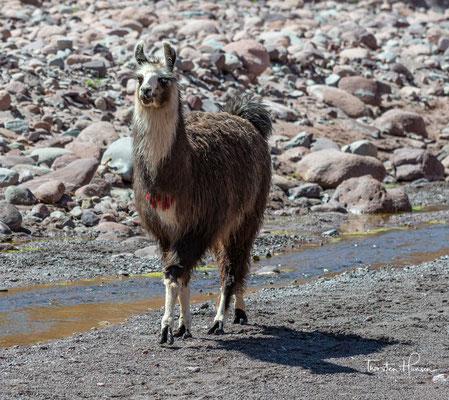 Das Lama (Lama glama) ist eine Art der Kamele. Es ist in den südamerikanischen Anden verbreitet und eine vom Guanako abstammende Haustierform.