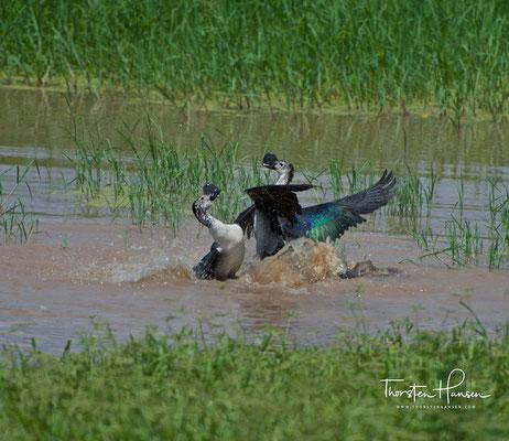 Höckerglanzgans im Tarangire-Nationalpark