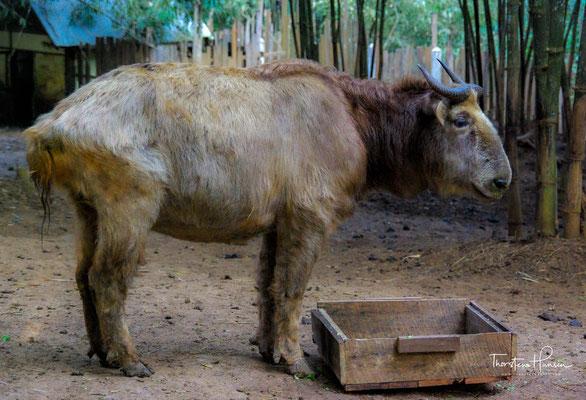Die Takine (Budorcas) sind eine in Asien lebende Säugetiergattung aus der Gruppe der Ziegenartigen