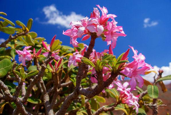 Der Stamm erreicht Durchmesser von bis zu einem Meter. Zahlreiche Äste und kleine Zweige wachsen auch aus dem Stamm, ein Unterschied zu anderen Vertretern der Wuchsform Flaschenbaum.