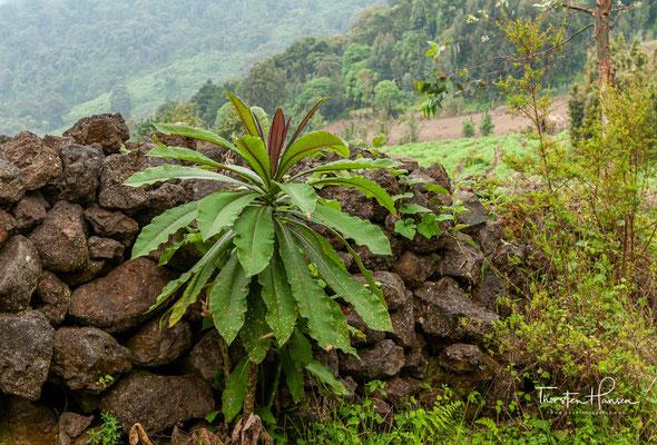 1929 wurde der Park durch die Kolonialmacht Belgien um weitere Gebiete in Ruanda-Urundi und Belgisch-Kongo erweitert. Der Park wuchs damit auf eine Fläche von 8090 km².