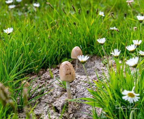 Im Volksmund wird das Gänseblümchen auch Tausendschön genannt. In Bergregionen kann man das Gänseblümchen in bis zu 1000 Metern Höhe antreffen.